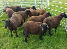 Black Welsh Mountain Ewe Lambs