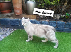 Highlander Cat from the only breeder in the Uk