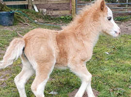 Mare with foal stunning palomino filly