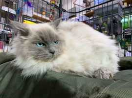REHOME , Ray , 7 Month Old Ragdoll Male 5* Home Wanted