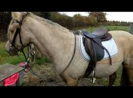 Fun Welsh mare for loan (approx 14hh)
