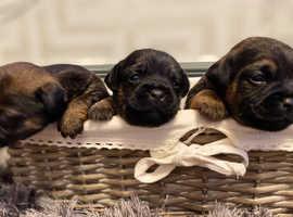 KC reg border terrier puppies