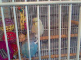 2 male baby budgies