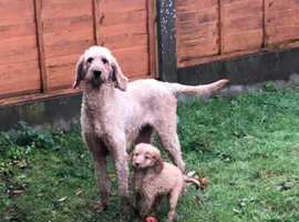 Very rare Irish doodles puppies looking for forever homes