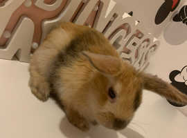 Mini lop / Mini Rex rabbits for sale!