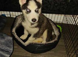 13 week old pup