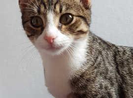 6 month old tabby kitten