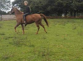 Stunning Sports Horse
