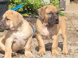 Top class presa canario puppies. READY NOW ! ! !