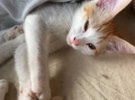 Sphynx x Ragdoll kittens for sale