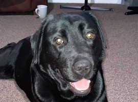 K.C Labrador puppies for sale