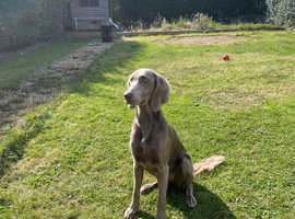 10 month old long haired Weimaraner