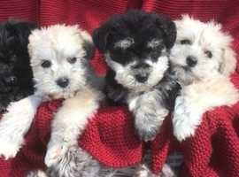 Loveliest Schonzer puppies