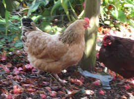 Hello - I'm Goldie - looking for a new home with other friendly chickens.