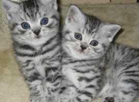 Beautiful British shorthair silver tabby kittens