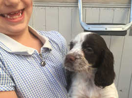 Adorable sprockers ready for new loving homes