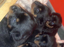 Full Pedigree Rottweiler Puppies! Kennel Club Registered!
