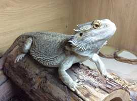 Looking at either rehoming or purchasing a couple of bearded dragons and full set up