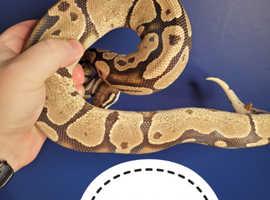 Ball Python Males