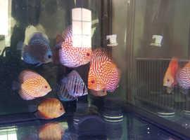 Discus fish 9 in total