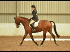 Quality bay gelding LOAN ONLY