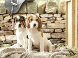 Stunning Beagle Pups