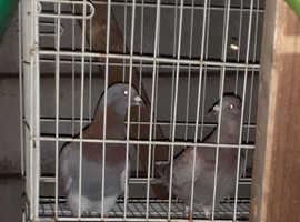 Racer pigeons