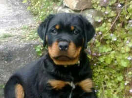 Wanted rottweiler pup