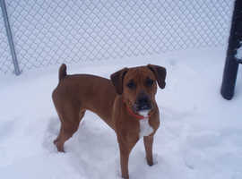 Boxer cross Doberman wanted