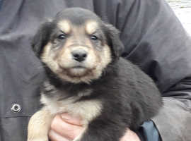 WELSH COLLIE X PUPPIES FOR SALE Nr Hay on Wye - ready 7 Dec.