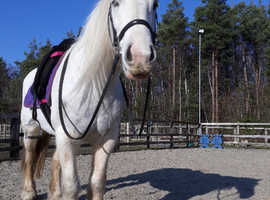 Beautiful grey cob x connie type