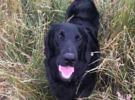 £8 DOG WALKING SERVICES WEST BRIDGFORD!