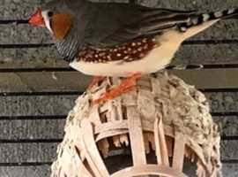 2 Finches Free to Aviary Home