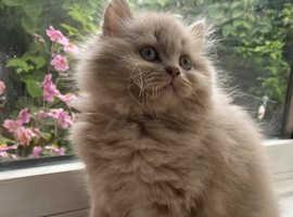 TICA Registered Fawn BLH Kittens