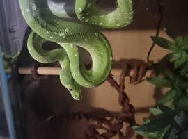 Acu Green tree python