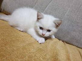 British short hair kitten (male left!)