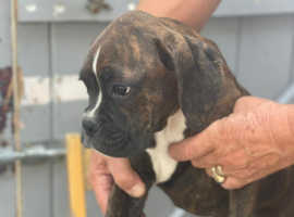 Boxer pups looking for their homes