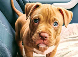 Bully puppy