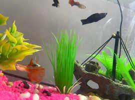 4 Guppies, 1 Molly, 1 Sanitary fish