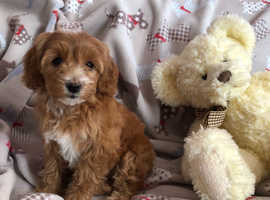 Red F2 Cockapoo (GIRL) Puppy