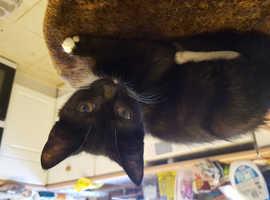 Ragdoll x british shorthair female kitten