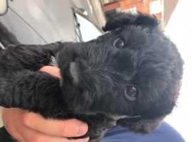 Female Lakeland Terrier for Sale