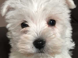 westie pups for sale