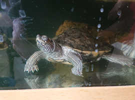 Three turtles in need of a good home with full set up.