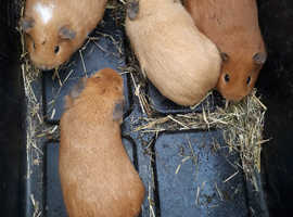 Baby girl guinea pigs available
