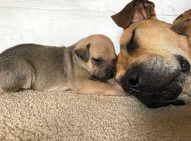 Rhodesian Ridgeback x Jack Russell puppies