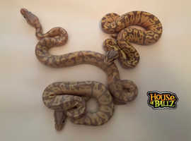 Ball python Hatchings