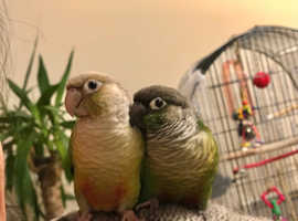 Green-cheeked and PineappleConure Parakeets