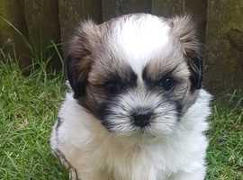 4 Beautiful Home Raised Full Shih Tzu Puppies