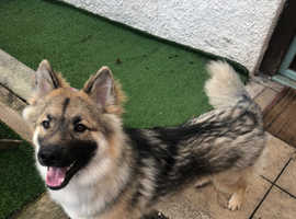 German shepherd cross malamute